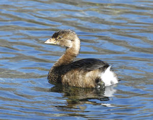 MC 220  Pied-billed Grebe