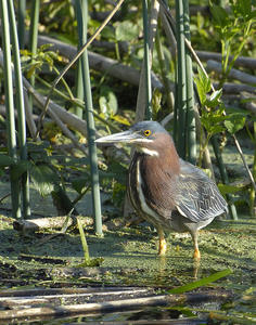 MC 234  Little Green Heron Close-up