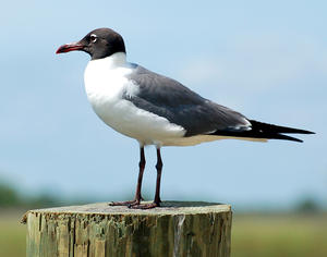 MC 145 Laughing Gull on a Post