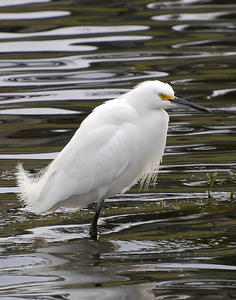 MC 167 Knee-Deep Snowy Egret