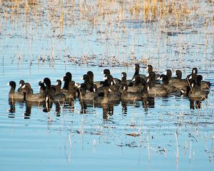 MC 168  A Crowd of Coots