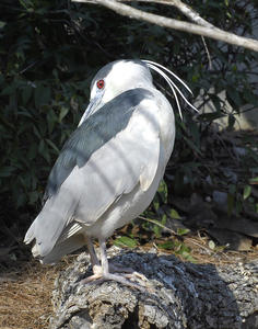 MC 216  Black-Crowned Night Heron