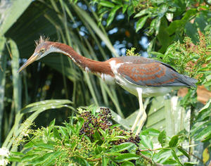 MC 146 Juvenile Tri-Color Heron in Trees