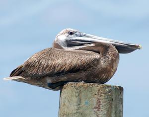 MC 150 Papa Pelican on a Post