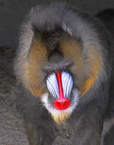 MC 259  It's a Mandrill