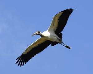 B-WS-1  Incoming Woodstork