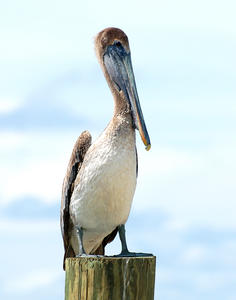 MC 154 Female Brown Pelican