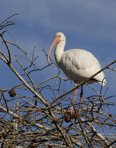 MC 169  White Ibis in Treetop