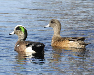 MC 171  American Wigeon Pair