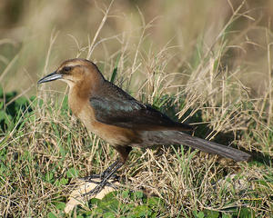MC 19  Female Boat-tail Grackle